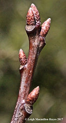 red oak buds.jpg
