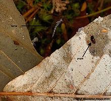 20-mosquito larva and pupa copy.jpeg