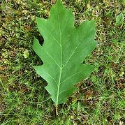 T-red oak.jpg