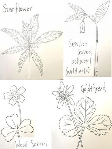 wildflower drawings.jpg
