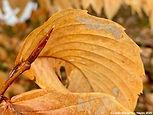 5-beech bud, long, slender, many scaled