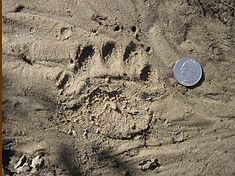 Bear print in mud.JPG