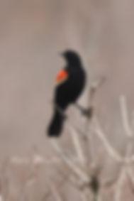 Red-winged blackbird signed.jpg