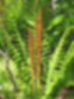 cinnamon fern with fertile fronds.jpg