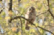 Barred Owl signed.jpg