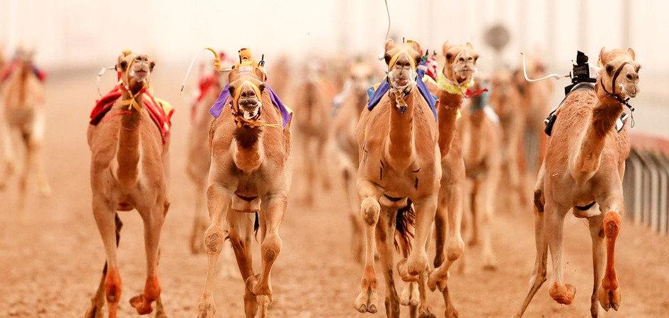 camels-pemf_edited.jpg