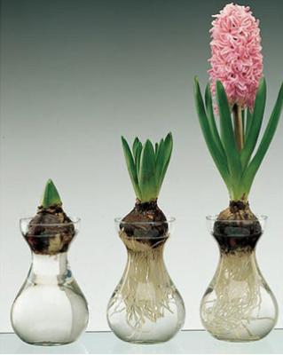 Bulb Forcing Jar/Vase (Hyacinth bulbs available to pair)