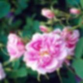 Quatre Saisons Rose