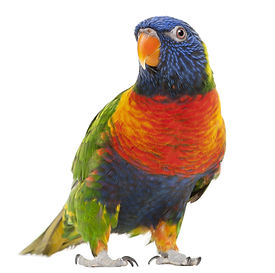 Lorikeet high res.jpg