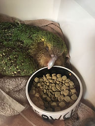 Kakapo eat Harrison's Bird Food.jpg