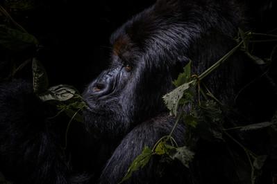 Congo Silverback