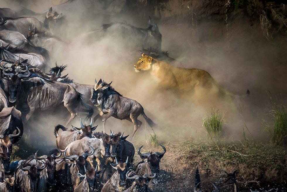 Lion hunting Wildebeest