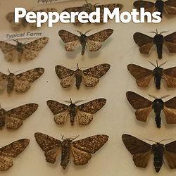 Object - Peppered Moths.jpg