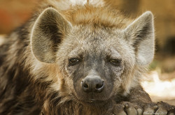 Brown-Spotted-Hyena-Cub