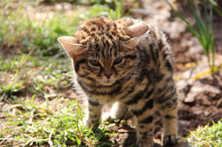 2010 to 2017 Black footed cat
