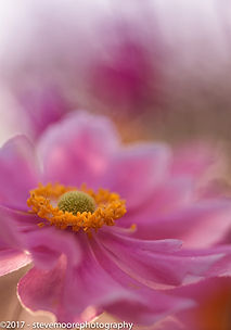 Flower photography - Blush - garden flower anemone