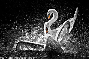 Swans dancing in water