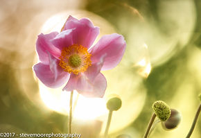 flower photography of an anemone flower