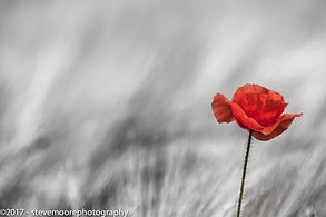 flower photography, flower, flowers, poppy, poppies, rememberance