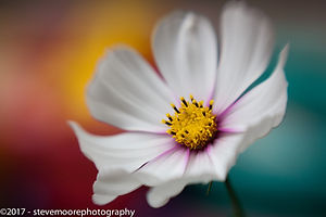Flower photography, flower, fflowers, cosmos, daisy, garden flower, garden flowers, colourfull, colorfull, clolours of the cosmos