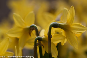 flower photography, flowers, flower, daffodils