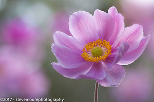 Flower photography, Morning anemone, Flower, flowers, Garden flower, garden flowers