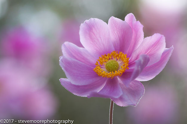 Flower photography - Morning Anemone - Garden flower