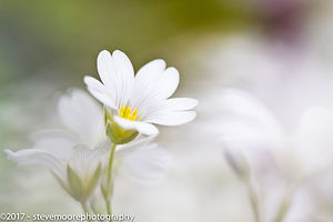 Flower Photography - Whisper - garden flowers