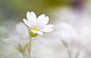 Flower Photography - Whisper - garden flowers