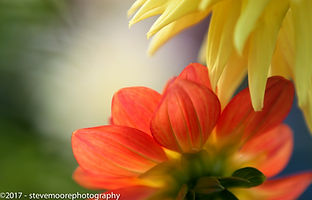 flower photography, flowers, Oranges and Lemons