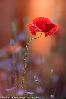 Awarding winning flower photography - At the end of the day - garden flower - poppy