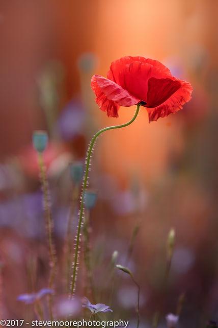 flower, flowers, poppy, poppies, flower photography