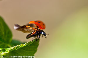 Ladybird in flight