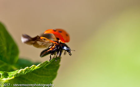 steve moore photography, Jump, Ladybird, leaf, insect