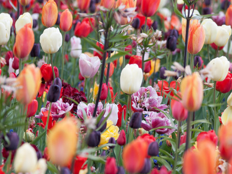 Tulips, tulips and more tulips !