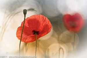 Flower photography - Morning Poppies - Poppy.