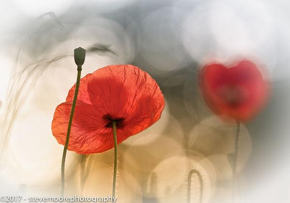 Flower photography poppy poppies