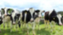 holstein-cattle-2318436.jpg