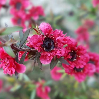 Leptospermum scoparius