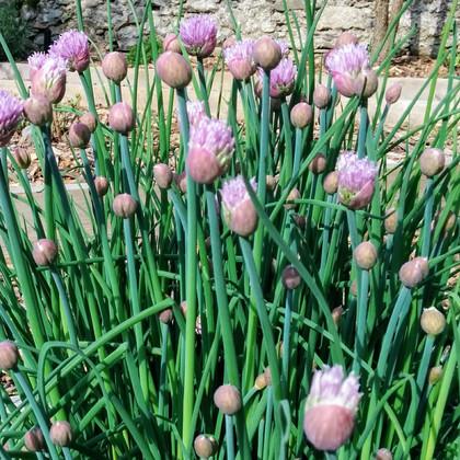 Allium shoenoprasum