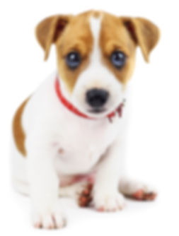 jack-russel-puppy-isolated-on-white-MV5L