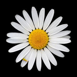"6"" square print - oxeye daisy"