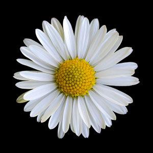 "6"" square print - daisy"