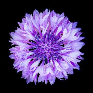 "6"" square print - cornflower"