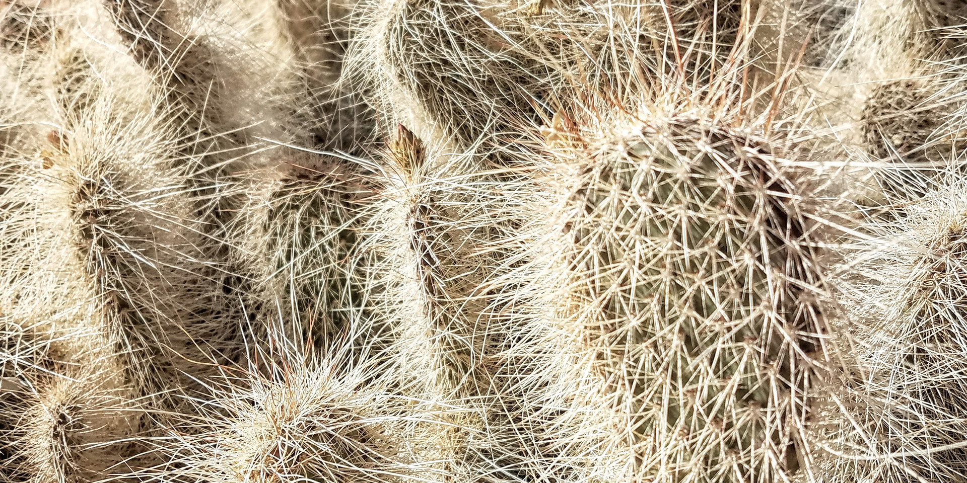 Cholla Cactus from the cholla gardens in Joshua Tree National Park
