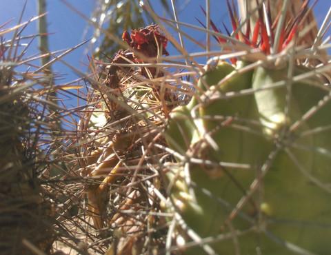 Cacti in 29 Palms