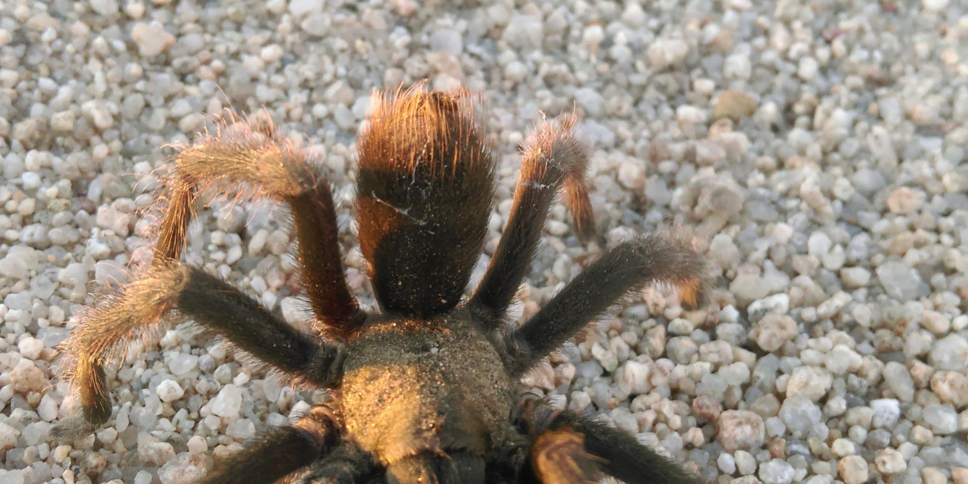 Tarantula breeding season 2018 29 Palms, CA