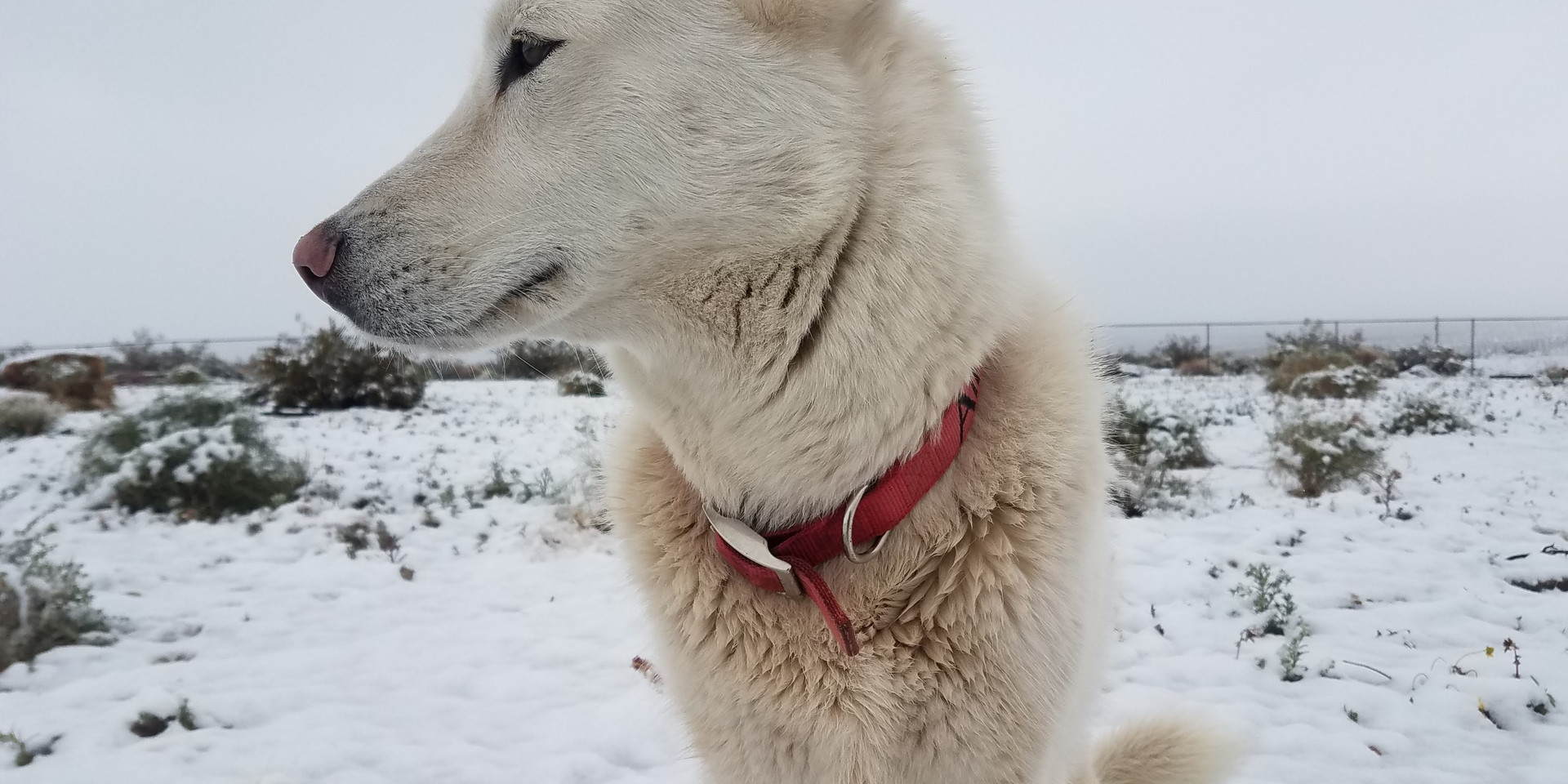 Snow dog, 29 Palms, CA