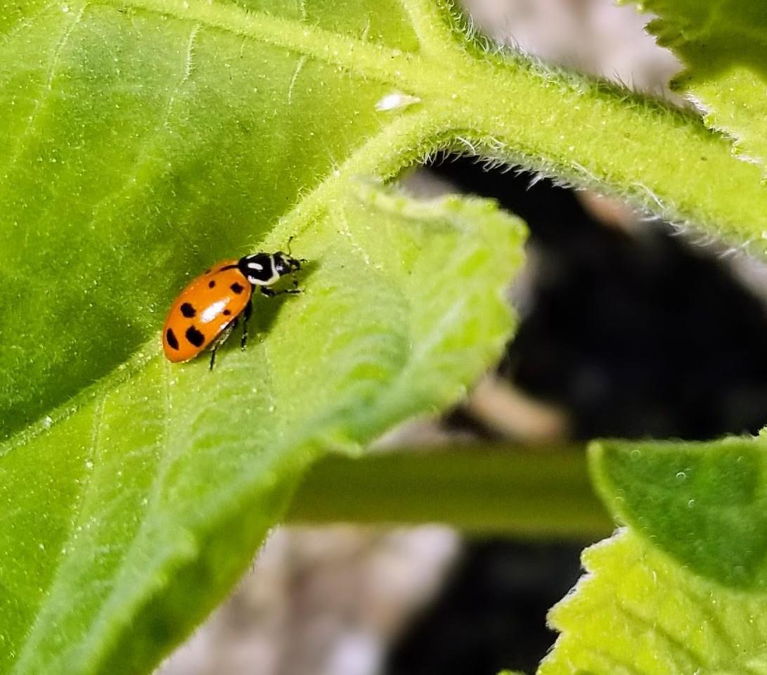 Ladybugs Invade 29 Palms, Ca Awesome!