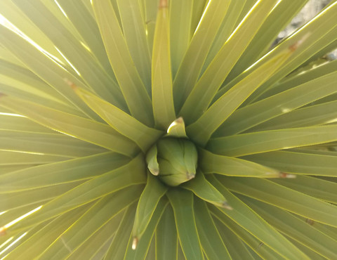 Yucca plant, Joshua Tree National Park